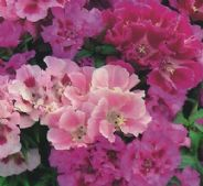 Godetia Crown Double mixed - 500 seeds